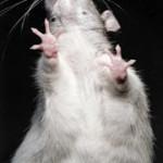 Freud, la nevrosi ossessiva e l'Uomo dei Topi
