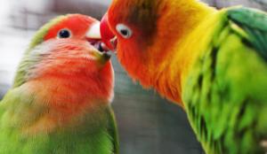 Perché gli uccelli non hanno il pene