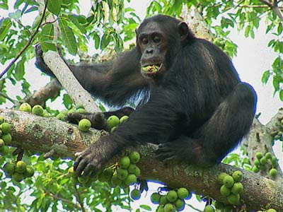 grandi scimmie