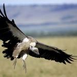 Avvoltoio dalla testa bianca