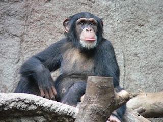 scimpanze
