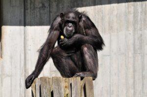 Psicologia degli scimpanzè e evoluzione mentale dell'Homo sapiens